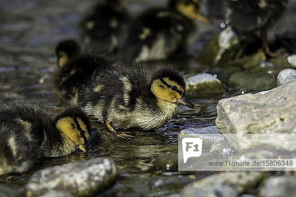 Stockenten (Anas platyrhynchos)  Küken im Wasser  Weizbach  Weiz  Österreich  Europa