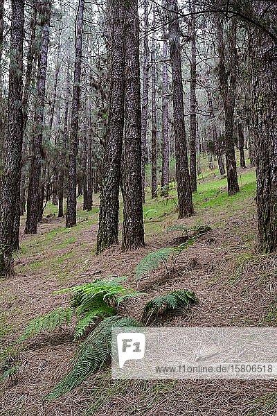 Wald mit Kanarischer Kiefer (Pinus canariensis)  Hochformat  La Palma  Kanaren  Spanien  Europa