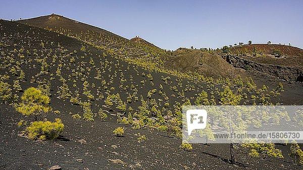 Landschaft an der Baumgrenze zum Vulkan Martin auf dem Wanderweg Ruta de los Vulkanes  La Palma  Kanaren  Spanien  Europa