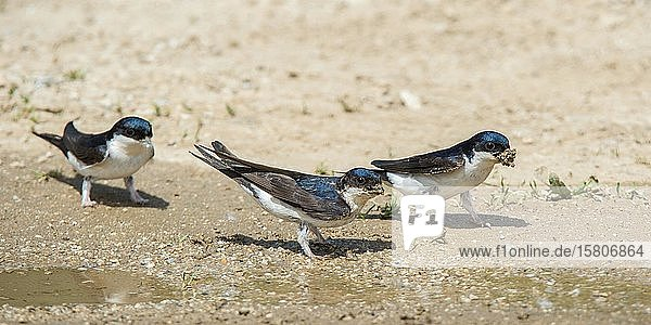 Mehlschwalben (Delichon urbica) sammeln Material zum Nestbau  Serres  Griechenland  Europa