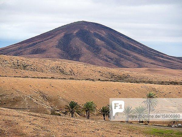 Palmen in kahler Landschaft  Fuerteventura  Kanaren  Spanien  Europa