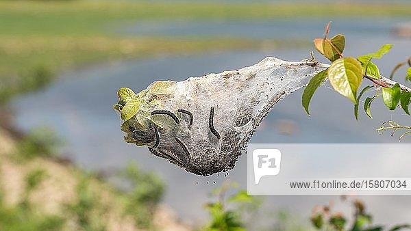 Nest mit Wollafter Raupen (Eriogaster)  Serres  Griechenland  Europa