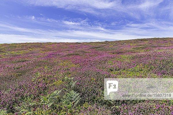 Blühendes Heidekraut (Erica) am Cap de la Chévre  Crozon  Département Finistère  Frankreich  Europa