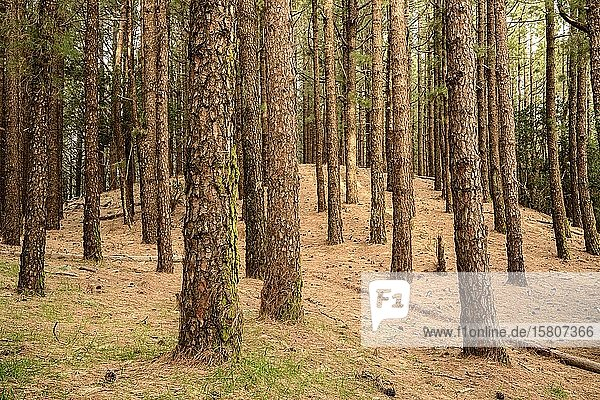Wald mit Kanarische Kiefer (Pinus canariensis)  La Palma  Kanaren  Spanien  Europa