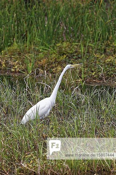 Silberreiher (Ardea alba) im Schilf auf Futtersuche  Rainbow River  Rainbow Springs State Park  Dunnelon  Florida  USA  Nordamerika