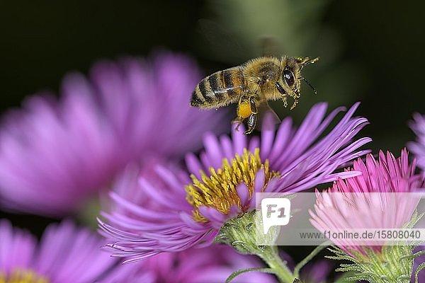 Honigbiene (Apis mellifera) über Asterblüte (Aster)  Berndorf  Niederösterreich  Österreich  Europa