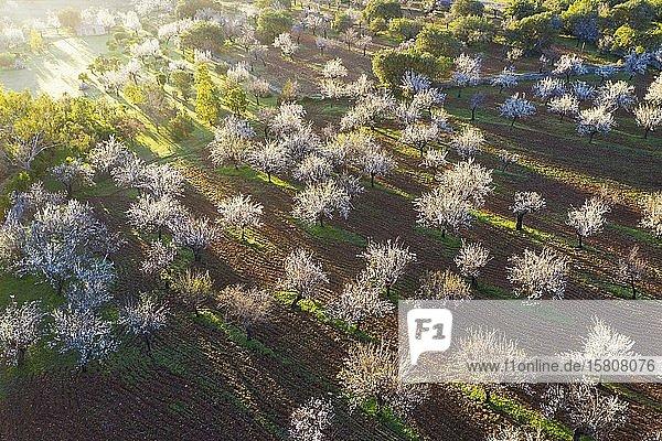 Mandelblüte  blühende Mandel-Plantage  bei Mancor de la Vall  Luftbild  Mallorca  Balearen  Spanien  Europa