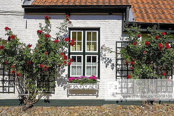 Rosenstöcke an einer Hausfassade  Wasserreihe  Husum  Nordfriesland  Schleswig-Holstein  Deutschland  Europa