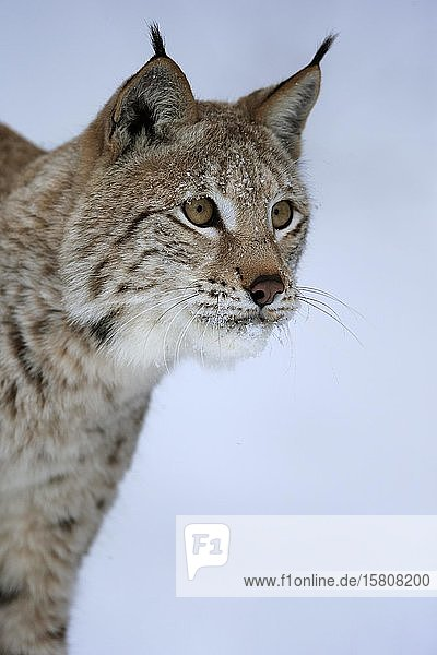 Eurasian lynx (Lynx lynx)  adult  captive  in winter  in snow  foraging  portrait  Montana  North America  USA  North America