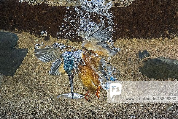 Common kingfisher (Alcedo atthis)  dives for fish  Hesse  Germany  Europe