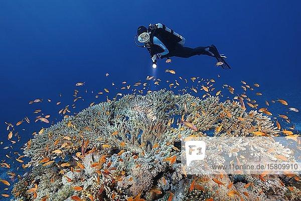 Taucher mit Lampe beobachtet Pazifischer Rotfeuerfisch (Pterois volitans) auf der Jagd nach Schwarm Fahnenbarsche (Anthiinae) auf Tischkoralle (Scleractinia)  Rotes Meer  Ägypten  Afrika