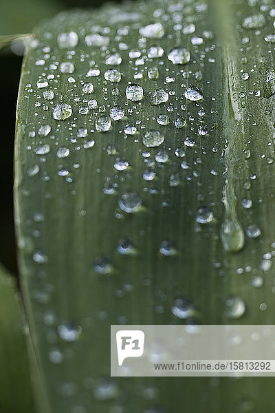 Extreme Nahaufnahme Regentropfen auf grünem Blatt