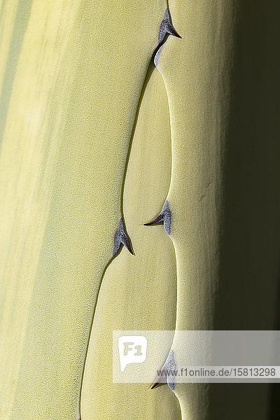 Extreme Nahaufnahme stacheliges grünes Kaktusblatt