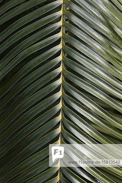 Nahaufnahme grünes Palmenblatt