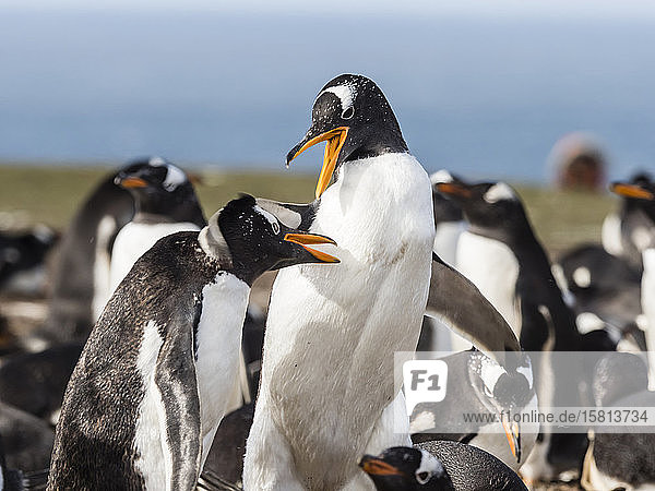Gentoo penguins (Pygoscelis papua) squabbling with each other at nest site on New Island  Falkland Islands  South America