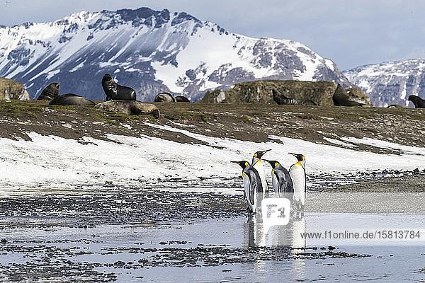 Adult king penguins (Aptenodytes patagonicus) at breeding colony at Salisbury Plain  South Georgia Island  Polar Regions