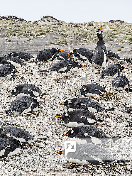 Gentoo penguins (Pygoscelis papua) at nesting site on Bull Point  East Island  Falkland Islands  South America