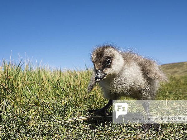 Upland goose gosling (Chloephaga picta) on New Island  Falkland Islands  South America