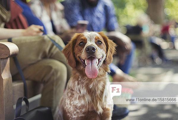 Portrait glücklicher brauner und weißer Hund im Park