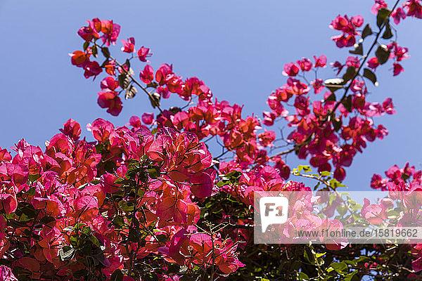 Frankreich  Blühende Rote Grosse Bougainvillea (Bougainvillea spectabilis)
