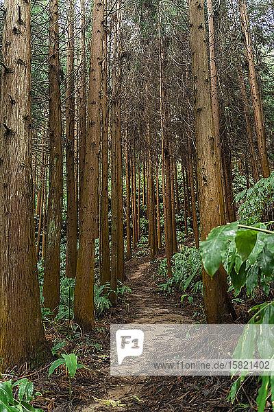 Waldweg  Sao-Miguel-Insel  Azoren  Portugal