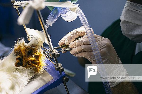 Nahaufnahme eines Tierarztes  der ein Meerschweinchen operiert