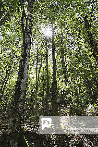 Wald mit Gegenlicht  Birken  Verzascatal  Tessin  Schweiz