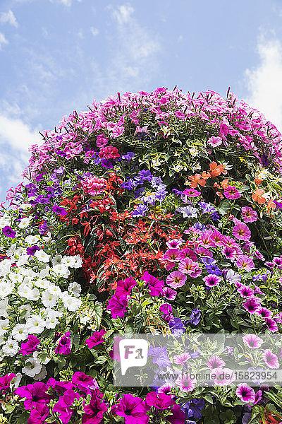 Frühlingsbeet mit farbenfrohen Petunien und Begonien
