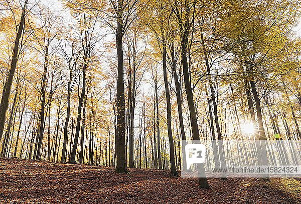 Deutschland  Nordrhein-Westfalen  Sonnenlicht beleuchtet Kermeter-Wald im Herbst