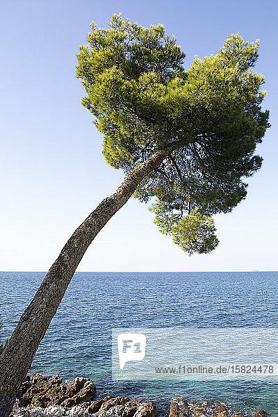 Croatia  Istria  Rovinj  Bent pine tree at the Adriatic Sea