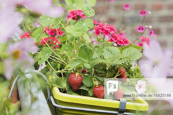 Erdbeeren und verschiedene Blumen  die im Sommer im Blumenkasten wachsen