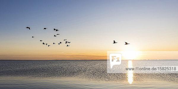 Deutschland  Mecklenburg-Vorpommern  Ostsee  Insel Rügen  Schaprode  Schaproder Bodden  Kraniche (Grus grus)  die bei Sonnenuntergang über dem Meer fliegen