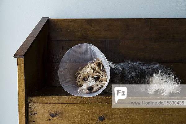 Full view of a Yorkshire Terrier laying on a bench with a vet cone on.