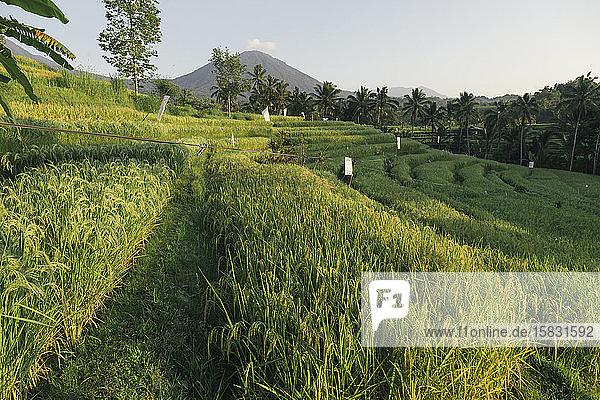 Reisterrassen von Jatiluwih  Bali  Indonesien