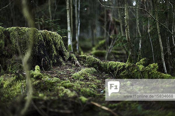 Bewachsener Baumstamm im Thüringer Wald  Deutschland.
