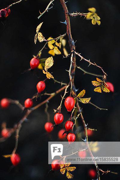 Viele rote reife Beeren an dünnen Baum- oder Strauchzweigen im Wald