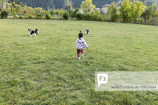 little girl walking on meadow playing with shepherds dogs