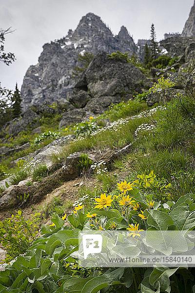 Gelbe Pfeilblatt-Balsamwurzel-Wildblumen an der Seite eines Berges