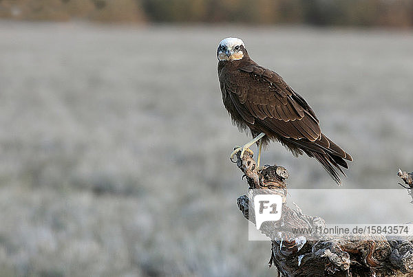 Adult female of Western marsh harrier  Circus aeroginosus