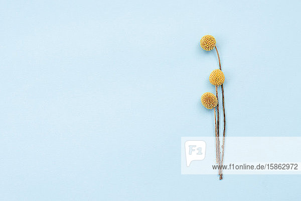 Wunderschöne gelbe Blumen auf blauem Hintergrund.