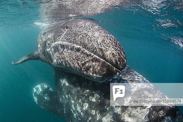 California gray whale (Eschrichtius robustus) mother and calf underwater in San Ignacio Lagoon  Baja California Sur  Mexico  North America