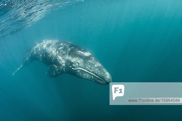 California gray whale (Eschrichtius robustus) calf underwater in San Ignacio Lagoon  Baja California Sur  Mexico  North America