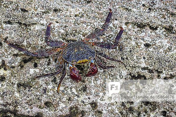 Adult Sally Lightfoot crab (Grapsus grapsus) at low tide on Punta Colorado  Isla San Jose  Baja California Sur  Mexico  North America