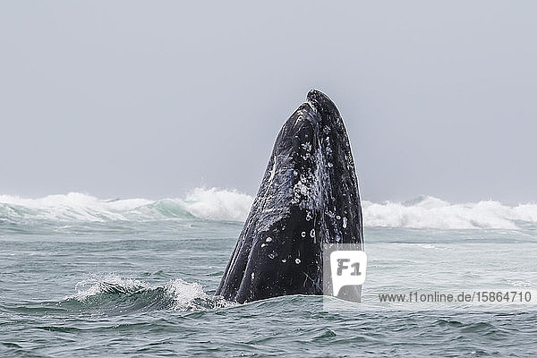 Adult California gray whale (Eschrichtius robustus) spy-hopping in San Ignacio Lagoon  Baja California Sur  Mexico  North America