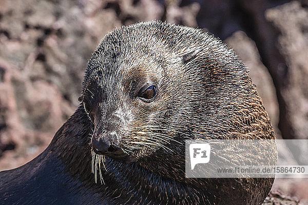 Adult male Guadalupe fur seal (Arctocephalus townsendi)  hauled out on Isla San Pedro Martir  Baja California  Mexico  North America