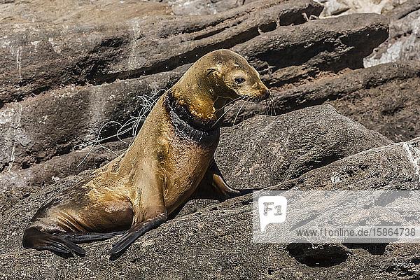 California sea lion (Zalophus californianus) female with monofilament net around her neck on Los Islotes  Baja California Sur  Mexico  North America