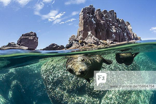 California sea lions (Zalophus californianus)  half above and half below at Los Islotes  Baja California Sur  Mexico  North America