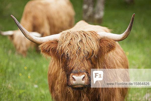 Highland cattle  Scotland  United Kingdom  Europe