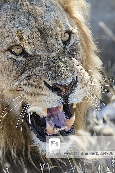 Male lion (Panthera leo)  Etosha National Park  Namibia  Africa