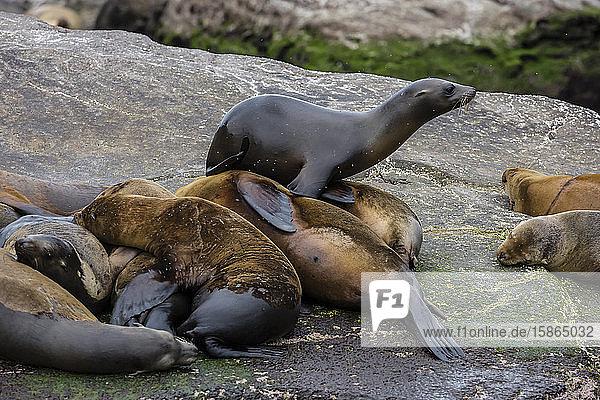 California sea lions (Zalophus californianus) hauled out on Isla San Pedro Martir  Baja California  Mexico  North America